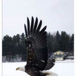 Rare Sighting – Bald Eagles Hunting on the Lake